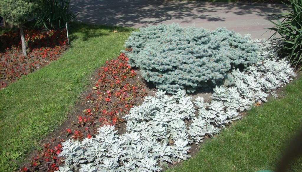 Цинерарии с другими растениями