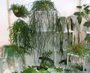 Размножение кактуса рипсалиса
