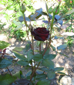 Роза Блэк Баккара в саду