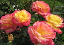Роза пульман ориент экспресс