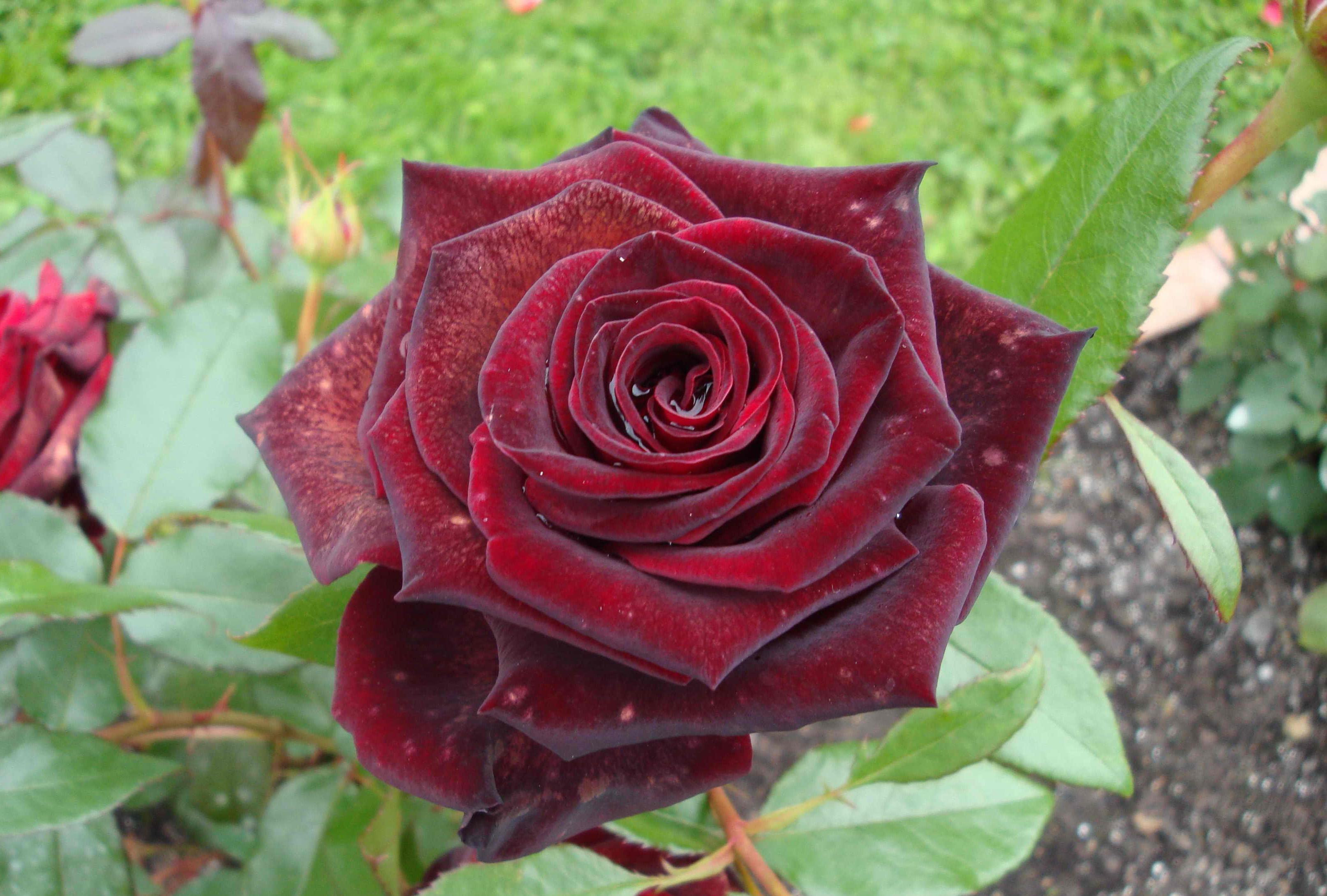 Розы черная магия