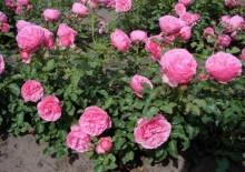 Роза Леонардо да Винчи с фото