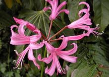 Нерине и фото цветка