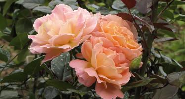 Роза Дорис Тистерман