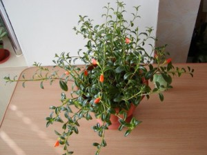 Уход за цветков гипоцирта