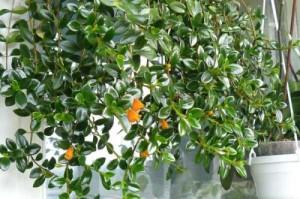 Температура для растения гипоцирта