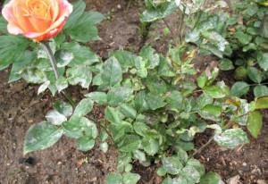 Мучнистая роса на розах Дорис Тистерман