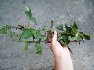 Размножение роз Блэк Баккара (черенки)