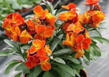 Лакфиоль фото растения