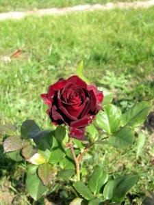 Чёрная магия сорт роз