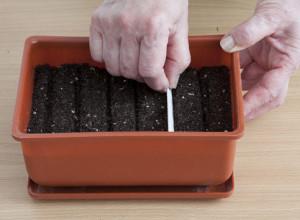 Высевают семена клеомы