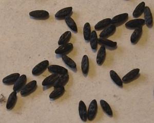 Семена пролески сибирской