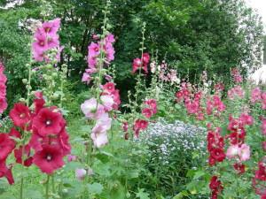Уход за цветком штокроза