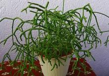 Кактус рипсалис