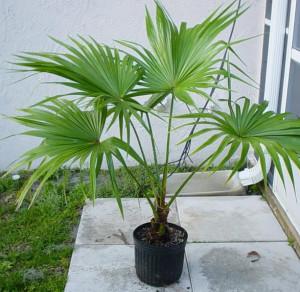Домашняя пальма ливистона