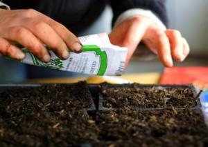 Выращивание торении из семян