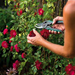 Обрезка розы Дон Жуан