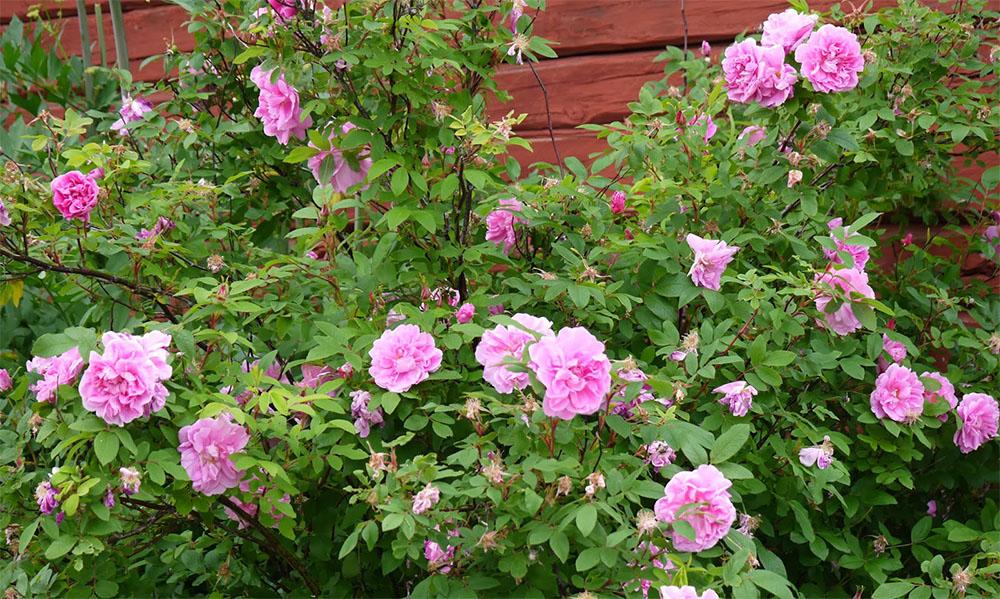 Роза Тереза Багнет в саду