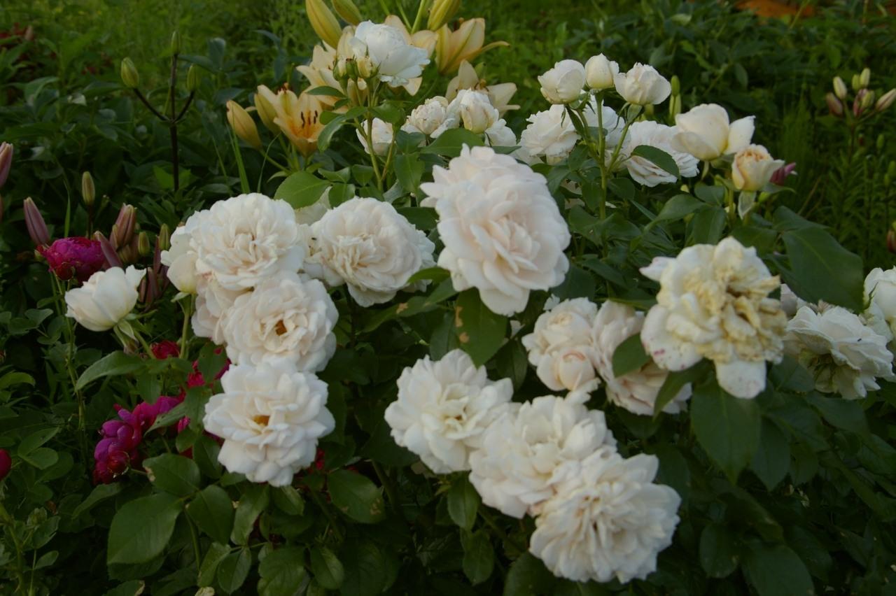 Почвопокровная роза «Свани»