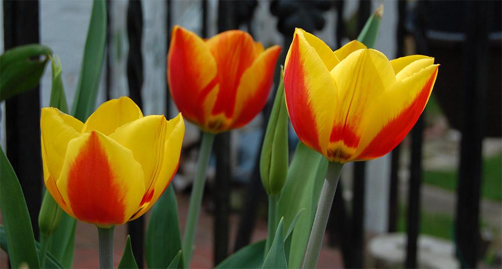 Тюльпаны Flair