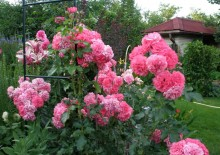 Розы сорта Розариум Ютерсен