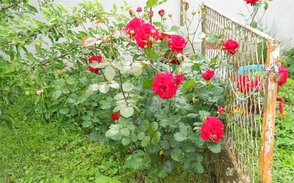 Роза Дон Жуан на садовом участке