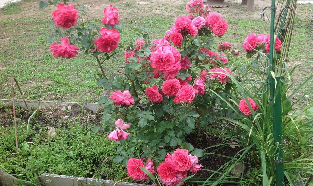 Розариум Ютерсен в саду
