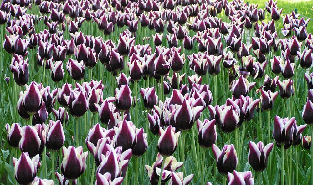 Тюльпаны сорта Gavota