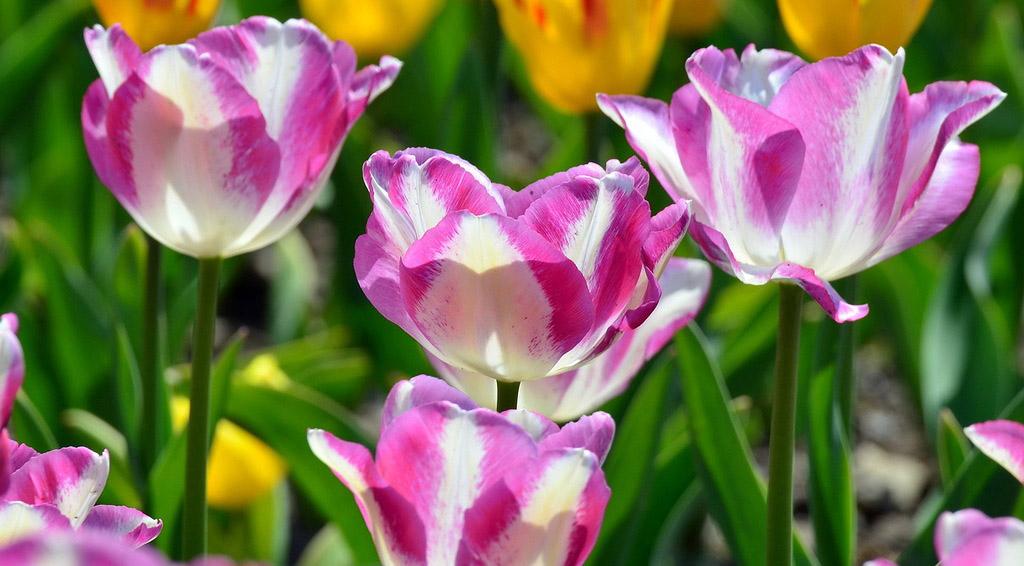 Тюльпаны Modern Style