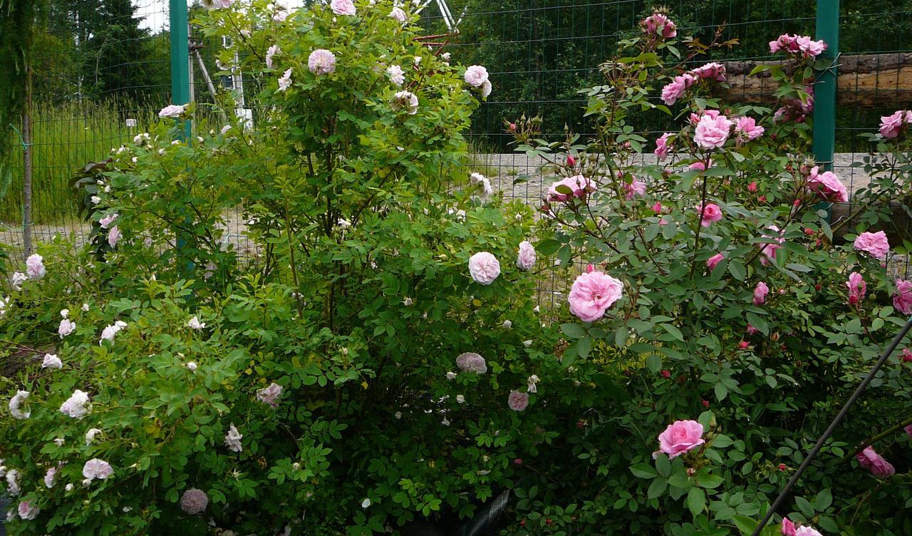Роза Мартин Фробишер в саду