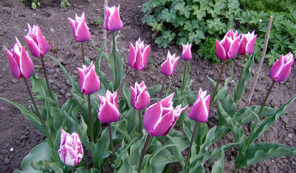 Тюльпан Клаудия