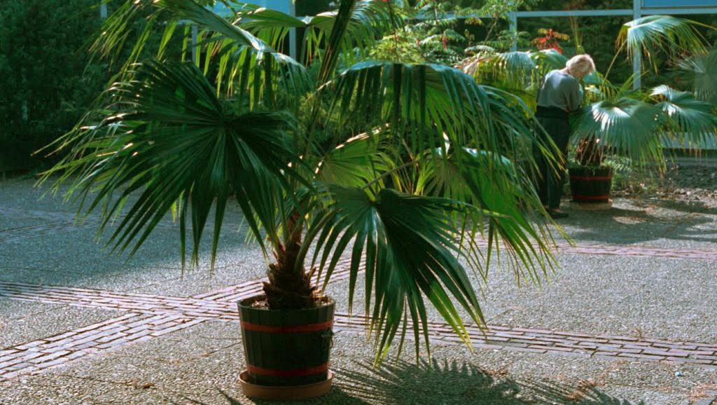Ливистона китайская (Livistona chinensis)