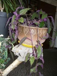 Подвязка и обрезка гинуры