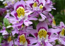 Схизантус садовый