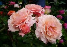 Роза сорта Мари Кюри