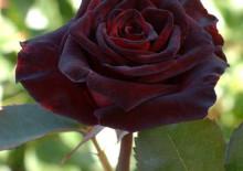 Роза Чёрная магия