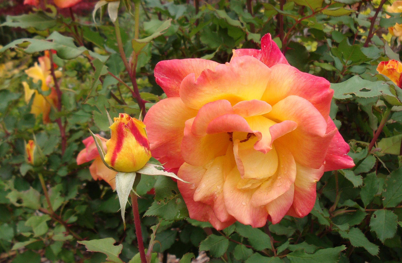 Роза Самба