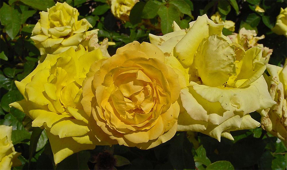 Розы Йеллоу Фейри