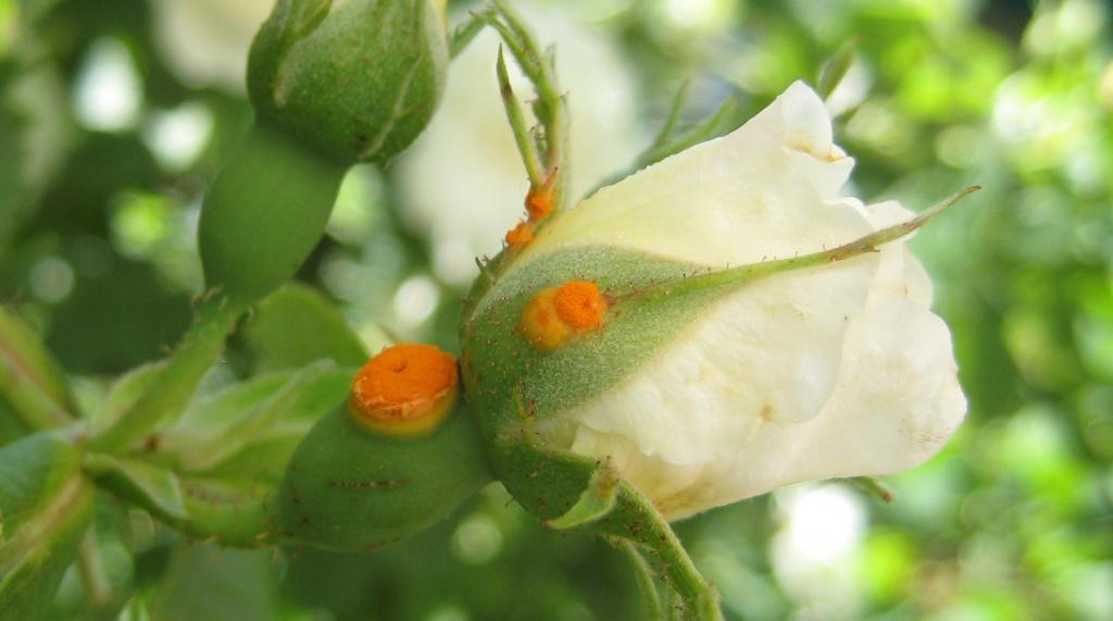 Ржавчина на розах