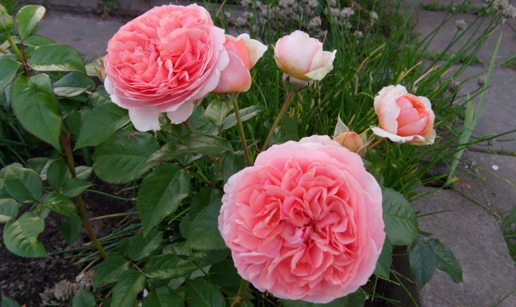 Роза Чиппендейл на садовом участке