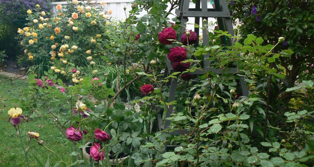 Роза Фальстаф в саду