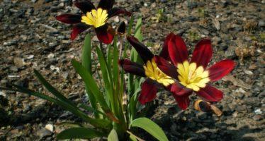 Спараксис трехцветный