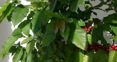 Дерево кофе