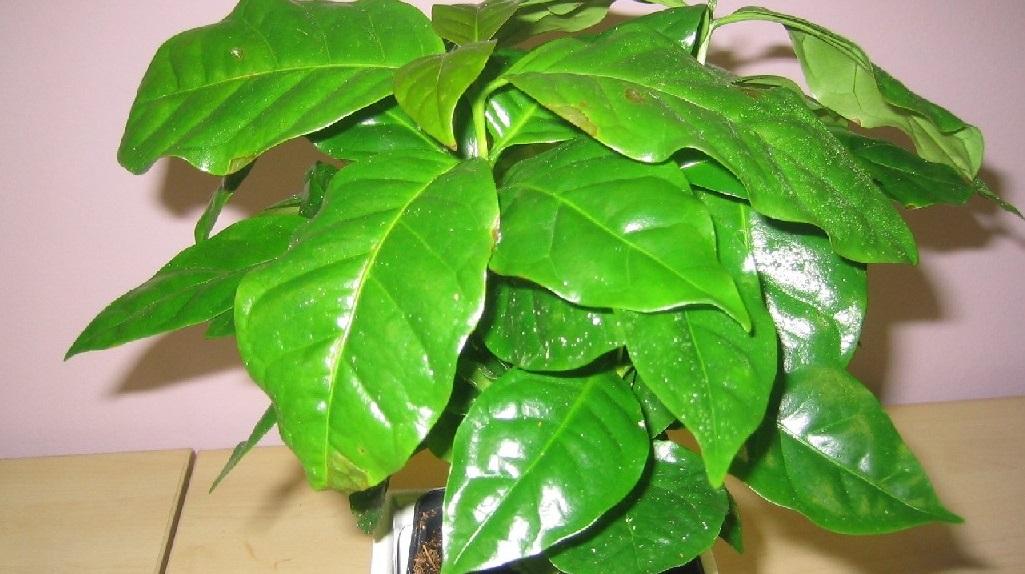 Молодое дерево кофе