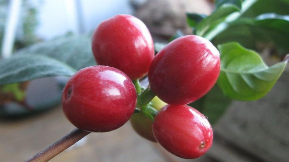 Плоды кофе