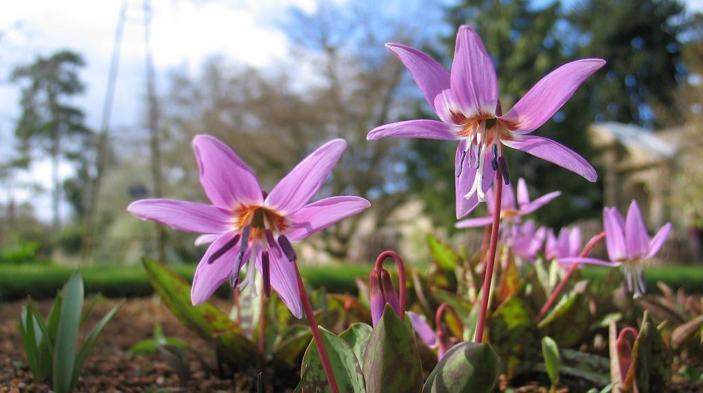 Цветки кандыка