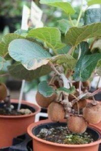 Растение киви