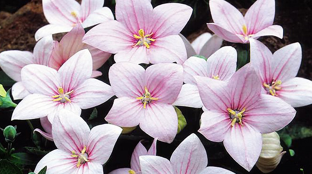 Платикодон крупноцветковый