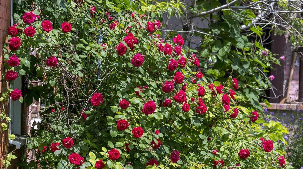 Майская роза