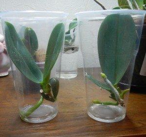 Детки орхидей